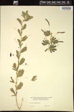 Image of Chamaecrista pilosa