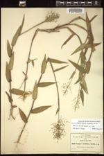 Image of Panicum viscidellum