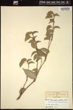 Image of Commelina pallida