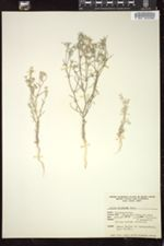 Image of Gilia floccosa