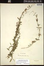 Image of Metastelma penicillatum