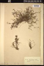 Juncus uliginosus image