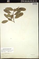 Image of Sapium daphnoides