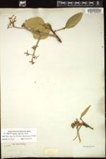 Image of Omphalea hypoleuca