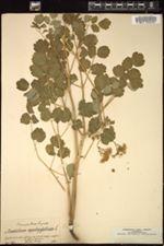 Thalictrum aquilegiifolium image