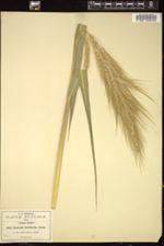 Image of Echinochloa holciformis
