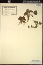 Viola suavis image