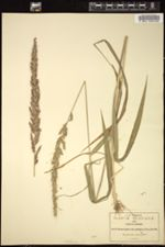 Image of Setaria latiglumis