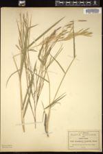 Image of Arundinaria longifolia