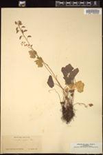 Tiarella polyphylla image