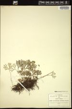 Image of Acrostichum peltatum