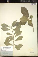 Image of Sapium adenodon