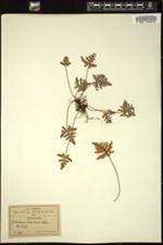 Image of Notholaena aurantiaca