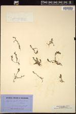 Image of Myriophyllum muelleri