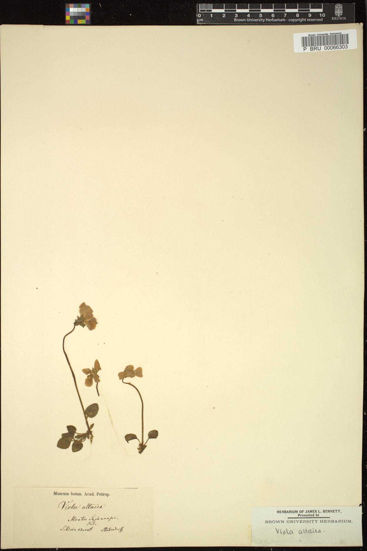 Viola altaica image