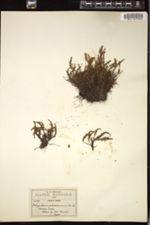 Image of Polypodium pilosissimum