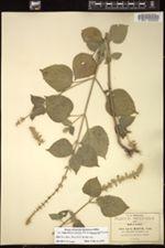 Image of Salvia tiliaefolia