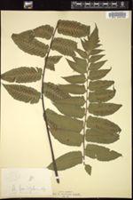 Image of Diplazium grandifolium