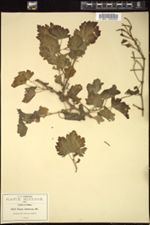 Cissus tiliacea image