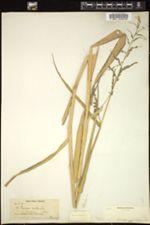 Image of Panicum molle