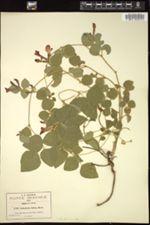 Image of Cologania hirta