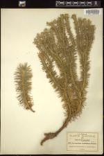 Image of Huperzia dichotoma