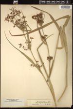 Image of Rhynchospora aurea
