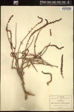Image of Cotyledon parviflora