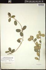 Image of Croton panduriformis