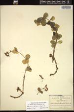 Image of Sedum rhodocarpum