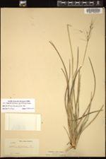 Image of Achlaena piptostachya