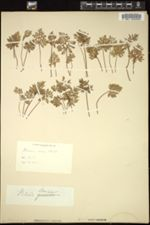 Image of Aspidotis densa