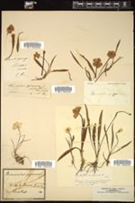 Ranunculus pyrenaeus image