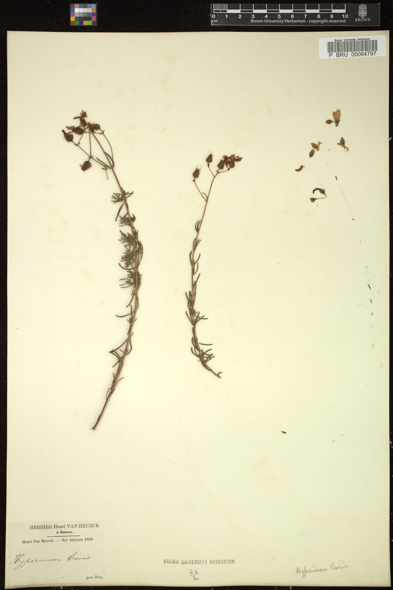 Hypericum coris image