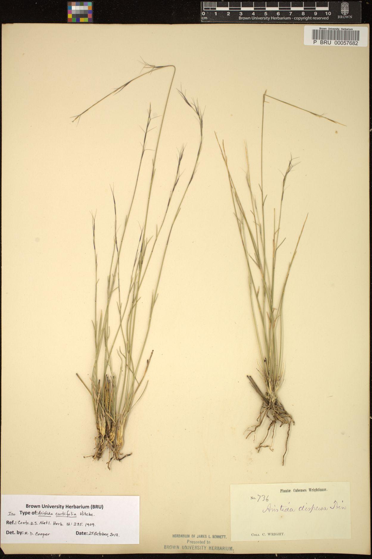 Aristida curtifolia image