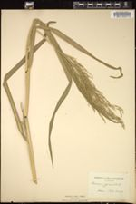 Echinochloa pyramidalis image