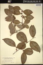 Image of Erythroxylum passerinum