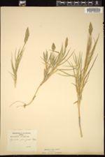 Image of Agrostis pungens