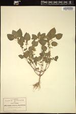 Image of Acalypha erubescens