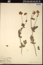 Image of Coronilla coronata