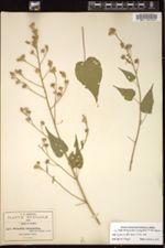 Image of Wissadula tricarpellata