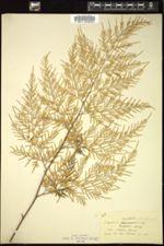 Image of Onychium auratum
