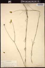 Image of Thelesperma subsimplicifolium