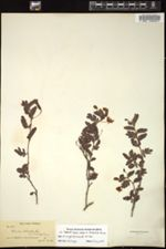 Image of Cassia lineata
