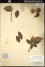 Image of Garcinia pungens