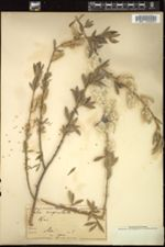 Image of Salix angustata