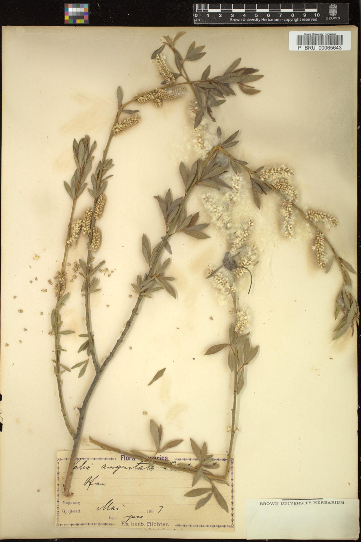 Salix angustata image