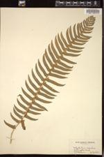 Image of Polystichum munitum
