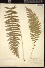 Thelypteris nevadensis image