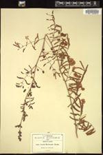 Image of Acacia hartwegii